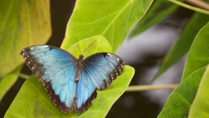 blue butterfly on a green leaf
