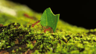 Leafcutter ants carry a snippet of leaf over a patch of moss. Carmelita, Belize.