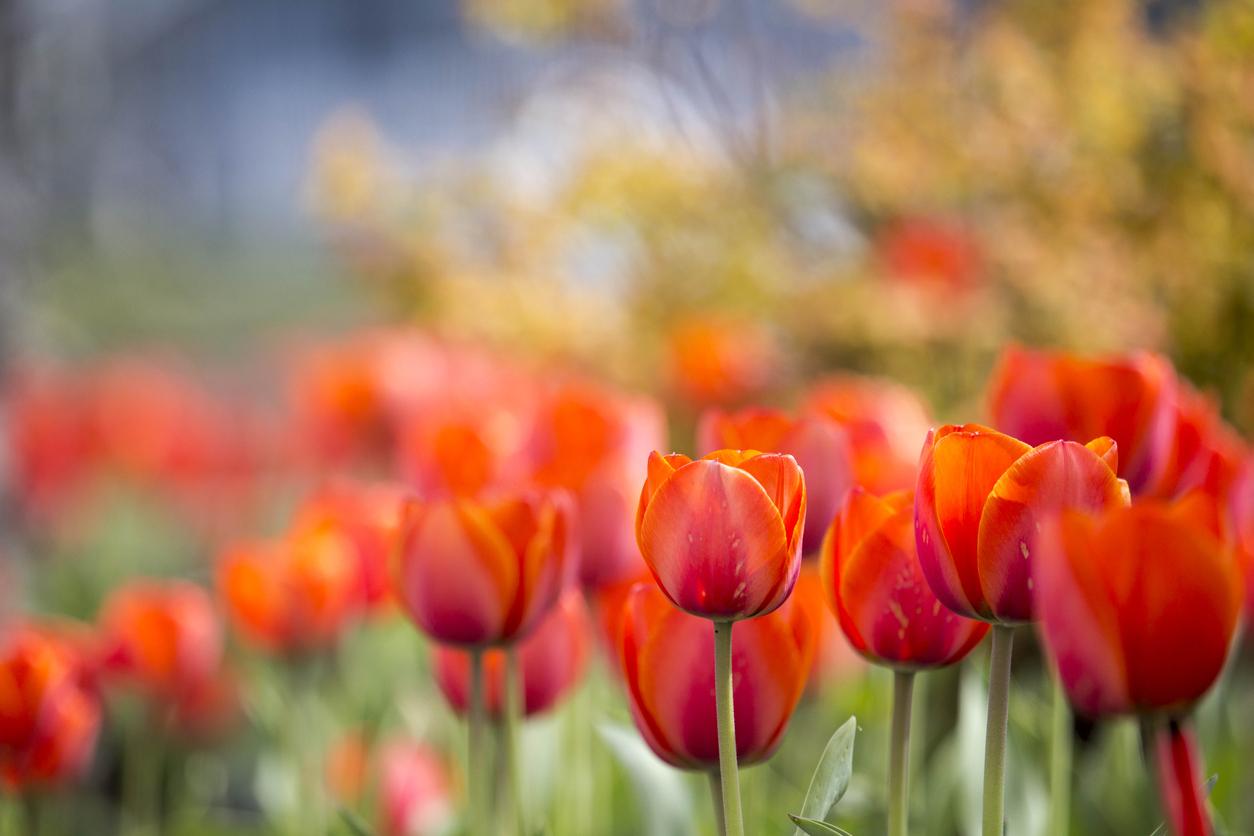 The Wisdom of Tulips