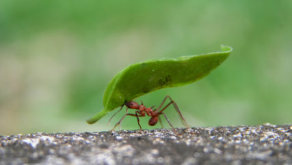 A resilient leaf cutter ant carrying a huge leaf in his mouth while zipping along the edge of a sidewalk in the Soberania National Forest in Panama. Shallow depth of depth with selective focus on ant and leaf. The speed that the ant was traveling, the limited field of depth and the extremely small size of the subject made this a very gratifying image to capture.
